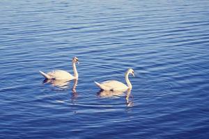 twee zwanen in het water foto
