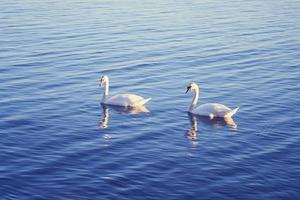 witte zwanen in het water foto