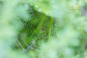 spin op een spinnenweb met waterdruppels foto