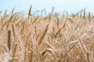 veld van tarwe gedurende de dag