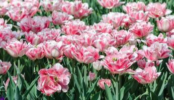 roze hybride tulpen foto