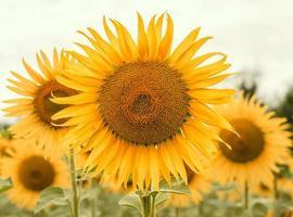 heldere groep zonnebloemen foto