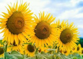 drie gele zonnebloemen foto