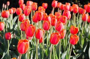 rood met gele contouren tulpen foto
