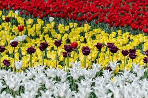 gebied van tulpen foto