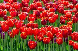bed van rode hybride tulpen foto