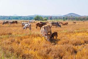 koeien in grasland foto