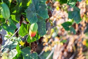 lvy kalebas fruit foto
