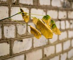 gele bladeren en bakstenen muur foto