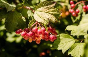 rode druiven op een tak foto