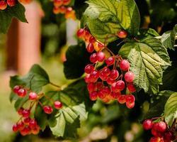 rode druiven groeien op een wijnstok foto