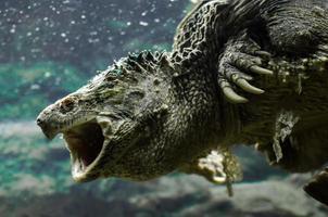 grote kaaiman-schildpad met open mond