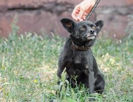 zwarte pup aangelijnd