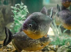 piranha's in het water