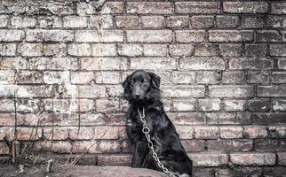 zwarte hond aan een ketting foto