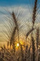tarwe bij zonsondergang foto