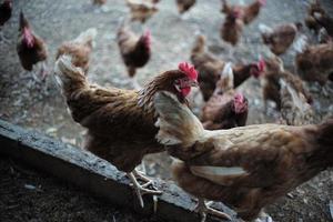 selectieve focus op de kip onder de groep kippen op de boerderij foto