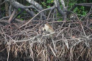 selectieve focus op aap zit op de wortels van mangrovebomen en eet watermeloen met wazige jungle op achtergrond foto