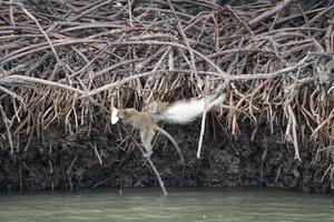 beweging wazig apen klimmen op de wortels van mangrovebomen en vechten voor voedsel foto