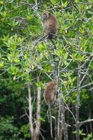 selectieve focus op apen zitten op de takken van mangrovebomen met wazige jungle op de achtergrond foto