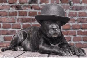zwarte puppy in een bolhoed