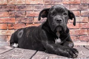 zwarte puppy met een baksteenachtergrond