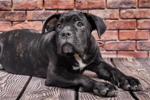 zwarte puppy op een houten vloer