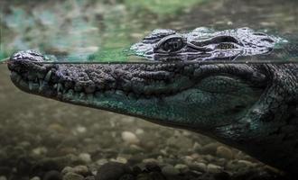 grote krokodil in het water