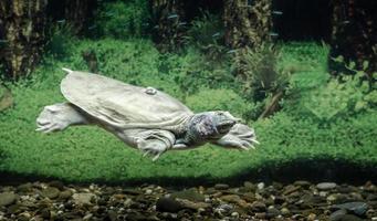 zoetwaterschildpad in het water