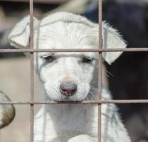 trieste witte pup achter een hek