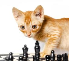 oranje tabby met schaakbord