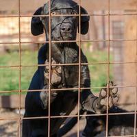 zwarte pup achter een hek