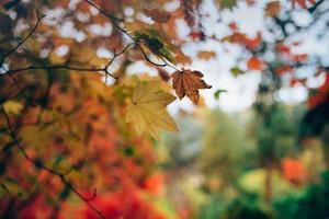 esdoorn herfstbladeren foto