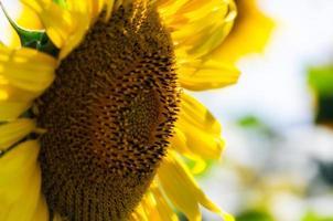 close-up van een gele zonnebloem foto