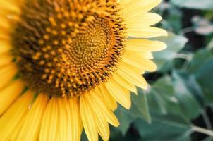 close-up van een gele zonnebloem in een veld foto