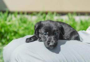 puppy in een schoot foto