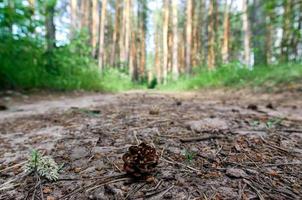 dennenappel in het bos foto