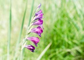 paarse bloemen in een groen veld foto