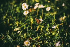 vlinder op madeliefjes foto