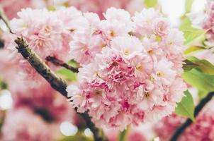 roze appelbloesems foto