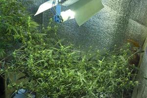 cannabisteelt binnenshuis, hennep binnenshuis onder lampen kweken foto