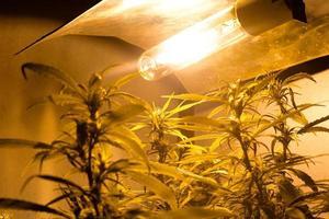 marihuana thuisplantage met bloeiende cannabisplanten onder kunstlicht binnenshuis foto