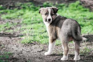 bruine en witte pup foto