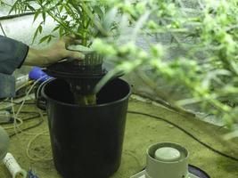 hydrocultuur cannabisteelt