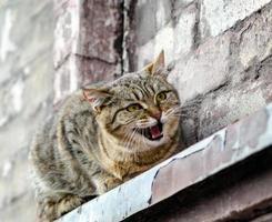 kat miauwt op een vensterbank foto