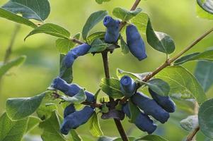 close-up foto van blauwe kamperfoelie vruchten