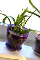 groene bloemzaailingen in potten op de vensterbank foto