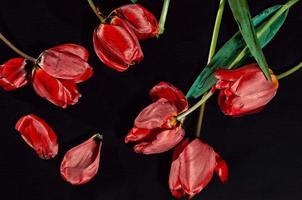 rode tulpen verspreid over een zwarte achtergrond