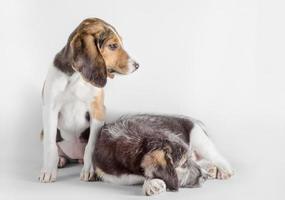 twee puppy's op een witte achtergrond foto