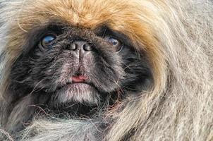 pekingese hond close-up foto